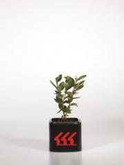 Кизильник блискучий Cotoneaster lucidus вік 2 роки