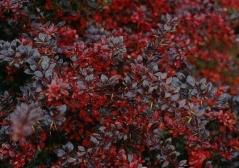 Барбарис середній Ред Джевел <br> Барбарис средний Ред Джевел <br> Berberis media Red Jewel