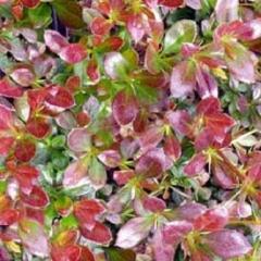 Барбарис Red Jewel фото