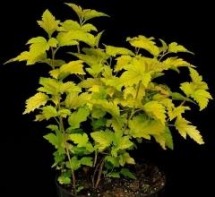 Physocarpus opulifolius Nugget