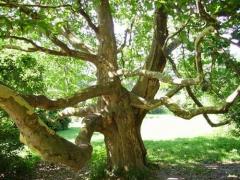 Платан кленолистий <br> Платан клёнолистный<br>Platanus x hispanica Acerifolia