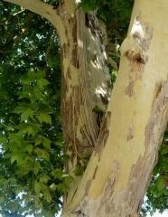 Платан кленолистий кора