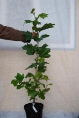 Платан кленолистий / Platanus Аcerifolia