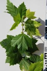 Платан кленолистий лист