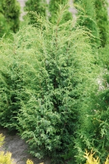 Ялівець звичайний Суецика / Juniperus communis Suecica