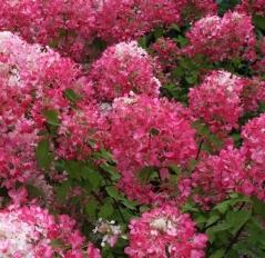Hydrangea paniculata Diamond Rouge цвітіння