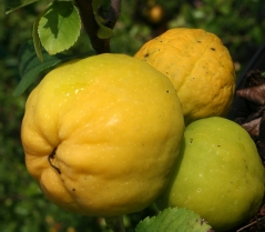 Айва средняя Orange Trail, плоды
