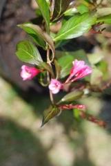 Вейгела цветущая Виктория цветок