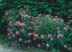 Спірея японська Дартс Ред <br>Спирея японская Дартс Ред <br>Spiraea japonica Dart's Red