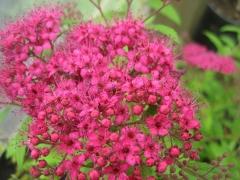 Спірея Dart's Red квіти