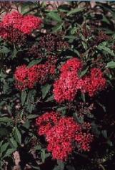Спірея бумальда Дартс Ред / Spiraea x bumalda Dart's Red