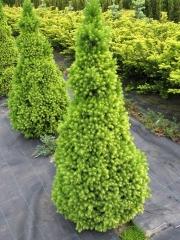 Ялина канадська Коніка Майголд (жовта)
