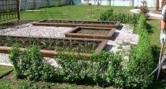 Ribes Schmidt формирование живой изгороди
