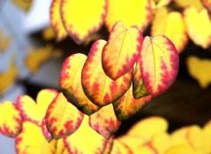 Церцидифиллум японский осенняя окраска