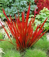 Імперата циліндрична Ред Барон<br>Императа цилиндрическая Ред Барон <br>Imperata cylindrica Red Baron