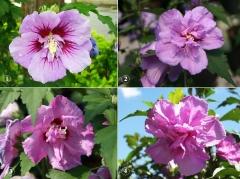 Прогресс расцвета цветка Гибискуса сирийского Ardens