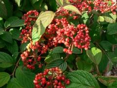 Viburnum Watanabe ягоди