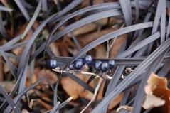Ophiopogon planiscapus Arabicus