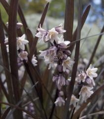 Ophiopogon planiscapus Black Dragon цветы