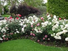 Троянда поліантова Вайт Фейрі в поєднанні з іншими трояндами