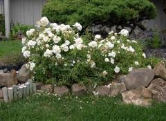 Троянда поліантова Вайт Фейрі на кам'яній гірці