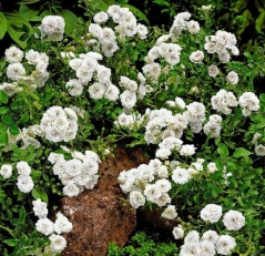Троянда поліантова Вайт Фейрі / White Fairy
