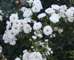 Троянда Вайт Фейрі