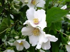 Чубушник гібридний Бель Етуаль квіти