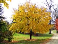 Клён Princeton Gold осенью