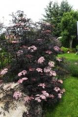 Sambucus nigra Black Beauty®
