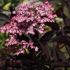 Бузина черная Блек Бьюти® цветение