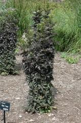 Sambucus nigra Black Tower ®