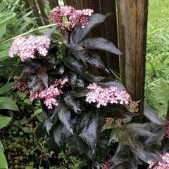 Бузина черная Блек Товер ® цветение