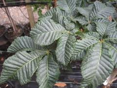 Каштан кінський Бріоті листя
