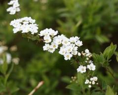 Спірея сіра Graciosa квіти