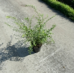 Spiraea Graciosa в контейнері 3л