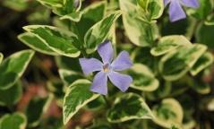 Барвінок Варієгата квітка