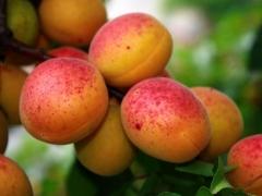 Абрикос Червонощокий (ранній) <br>Абрикос Краснощекий (ранний) <br>Prunus armeniaca Сheeked