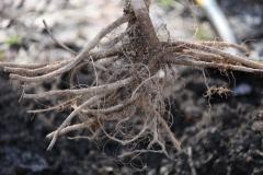 Абрикос Сheeked коренева система