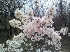 Абрикос Червонощокий цвітіння