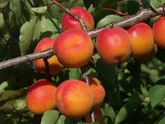 Prunus armeniaca Сheeked