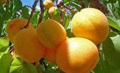 Apricot Сheeked