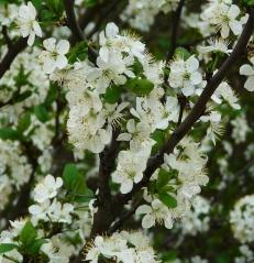 Prunus domestica Renkloda Althana цвітіння