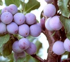 Prunus Renkloda Althana