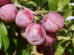Слива домашня Ренклод Альтана плоди