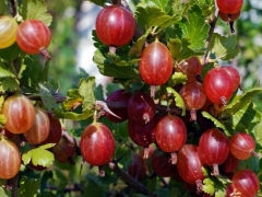 Аґрус Колобок (середній) плоди