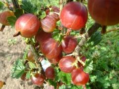 Ribes uva-crispa Bun