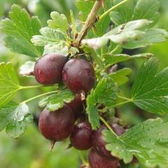 Ribes uva-crispa Bun літо