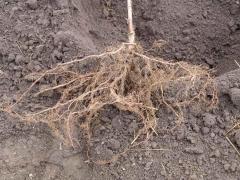 Аґрус чорний Чорномор з голим коренем