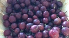 Ribes uva-crispa Chernomor